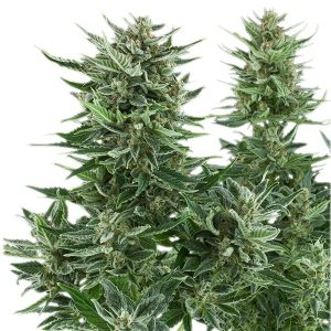 easy-bud-cogoyo-growcenter-growshop-maipu