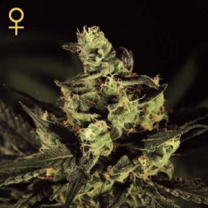 exodus-cheese-growcenter-grow-shop-maipu