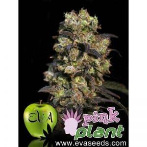 pink-plant-Growcenter