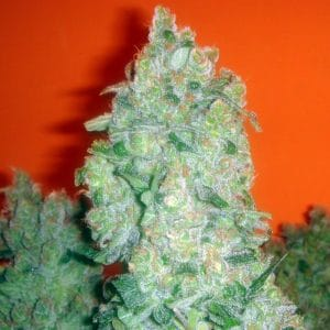 jack-la-mota-medical-seeds-growcenter-grow-shop-maipu-