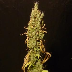 no-name-medical-seeds-growcenter-grow-shop-maipu