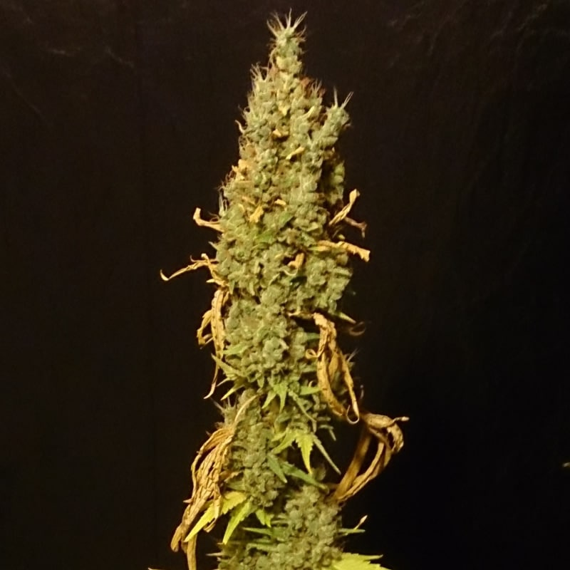 No name Medical Seed