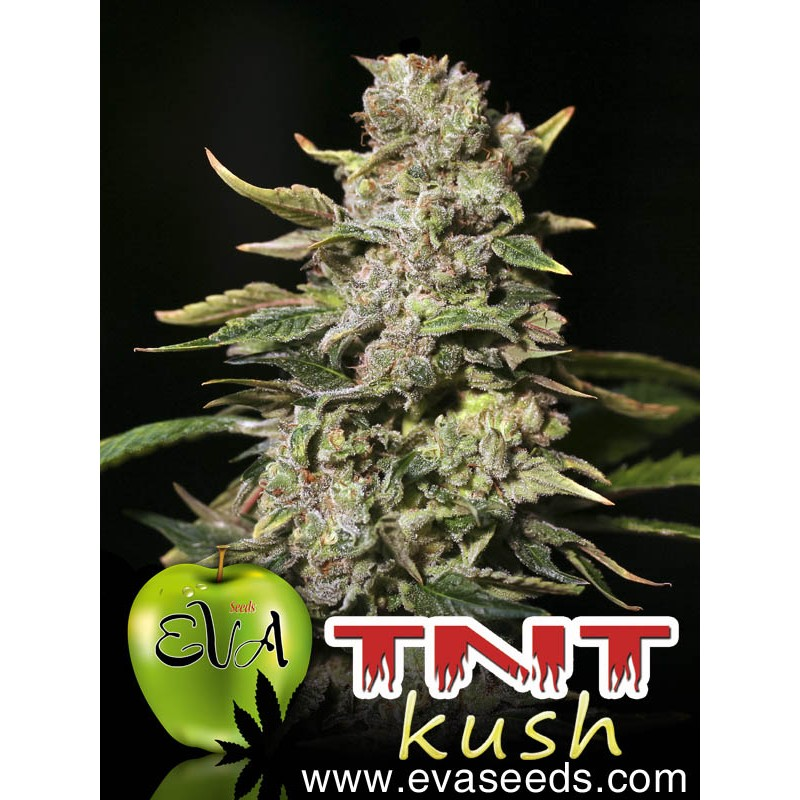 TNT Kush (pack 3 semillas)