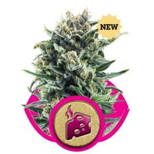 blue-cheese-royal-queen-seeds-grow-shop-growcenter-maipu-santiago-chile