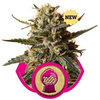 bblegum XL Royal Queen Seed
