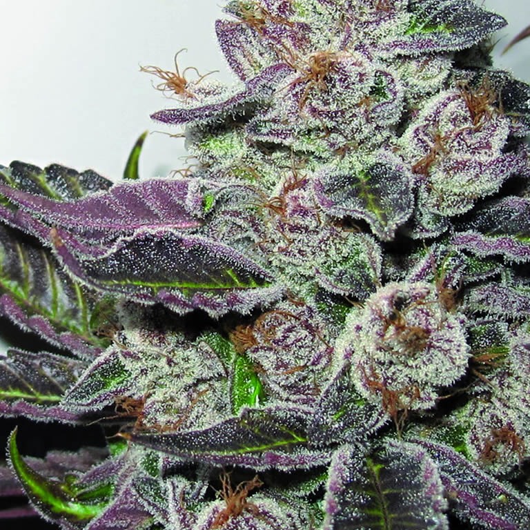 Mendocino Purple Kush Medical Seed