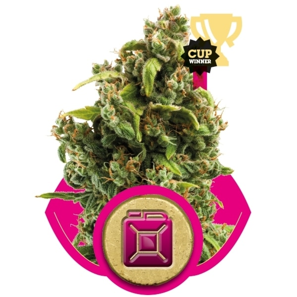 Sour Diesel Royal Queen Seed