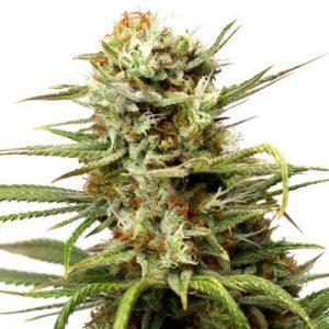 auto white widow dutch passion seeds cannabis weed fast buds bho dab wax grow shop chile santiago
