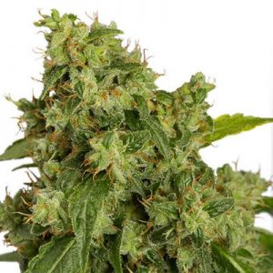 auto colorado cookies dutch passion seeds cannabis weed fast buds bho dab wax grow shop chile santiagoautoextreme auto extreme dutch passion seeds cannabis weed fast buds bho dab wax grow shop chile santiago