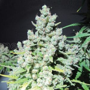 malakoff-medicalseeds-grow-shop-growshop-growcenter-chile-santiago-maipu-barnechea-cultivo-marihuana