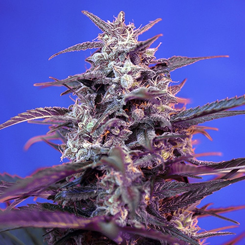 Bloody Skunk Automatica Sweet Seed