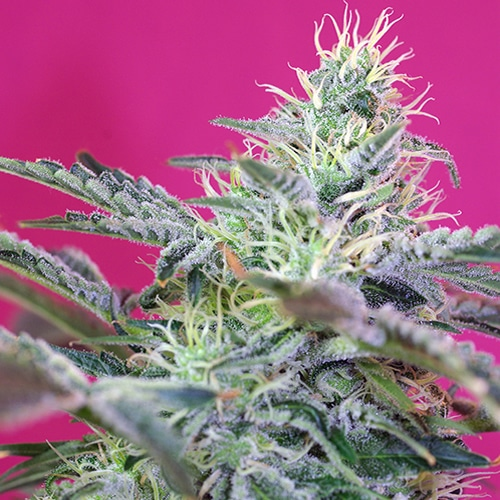 Sweet Cheese F1 Fast Version Sweet Seed