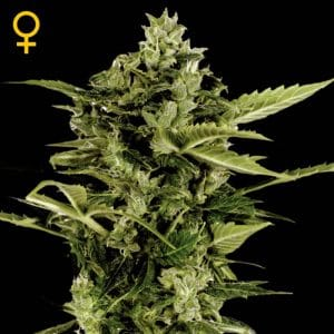 auto-bomb-green-house-seeds-autofloreciente-feminizada-productora-seeds-semillas-marihuana-maipu-growcenter-growshop-grow-shop-online