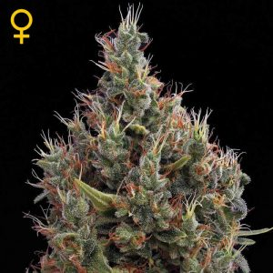 big-bang-auto-green-house-auto-floreciente-seeds-grow-shop-maipu-chile-center