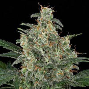 cheese-auto-automatica-autofloreciente-dinafem-seeds-chile-argentina-santiago-despacho-weed-cannabis-growshop