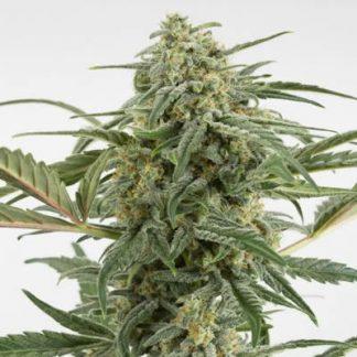 critical 2.0 auto automatica autofloreciente dinafem seeds chile argentina santiago despacho weed cannabis growshop