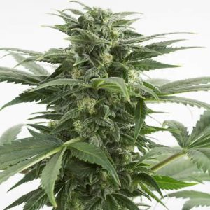 haze-xxl-dinafem-grow-shop-maipu