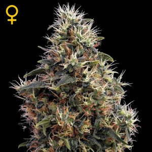 sweet-mango-auto-green-house-auto-floreciente-seeds-grow-shop-maipu-chile-center