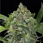 white cheese auto dinafem seeds cannabis weed ganjah canamo growshop growcenter marihuana mejor expo toronto