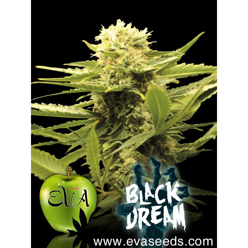Black Dream (pack 3 semillas)