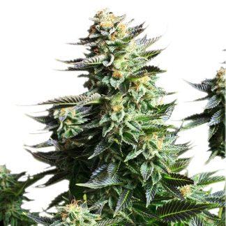 amnesia-haze--fem-royal-quee-seeds-grow-shop-growcenter-maipu-santiago-chile