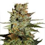 blueberry-auto-dutch-passion-seeds-grow-shop-growcenter-maipu-santiago-chile