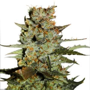 blueberry-auto-dutch-passion-seeds-grow-shop-growcenter-maipu-santiago-chile