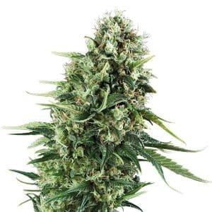 chocolate-haze-feminizada-fem-grow-center-shop-chile-santiago-semillas-cannabis