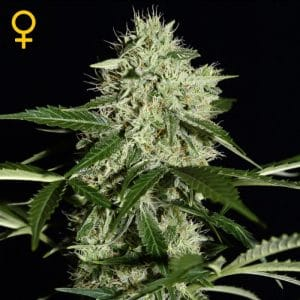 northern-lights-auto-floreciente-green-house-seeds-growshop-growcenter-chile-santiago-maipu-marihuana-cannabis-cogollos-cultivo-weed-seeds-semillas-automaticas