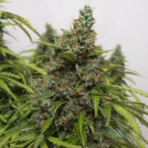 automazar-dutch-passion-seeds-cannabis-bank-chile-weed-rastafari-sativa-autofloreciente-grow-center-shop.jpg