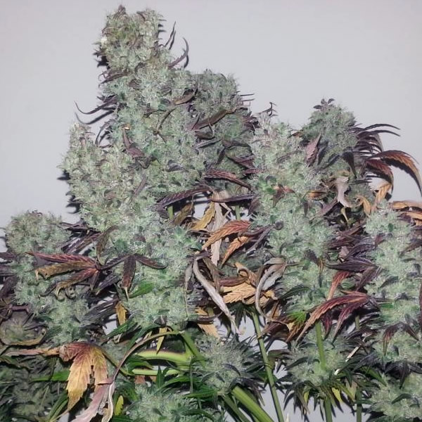 strawberry-cough-feminizada-passion-seeds-cannabis-bank-chile-weed-rastafari-sativa-grow-center-shop.jpg