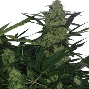 royal-ak-47-auto-queen-seeds-cannabis-bank-chile-weed-rastafari-sativa-autofloreciente-grow-center-shop-thc