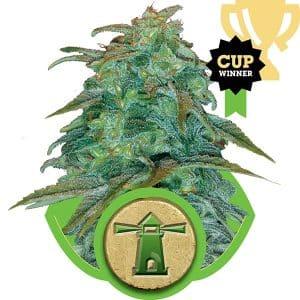 royal-haze-auto-queen-seeds-cannabis-bank-chile-weed-rastafari-sativa-autofloreciente-grow-center-shop-thc