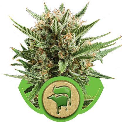 sweet-skunk-auto-queen-seeds-cannabis-bank-chile-weed-rastafari-sativa-autofloreciente-grow-center-shop-thc
