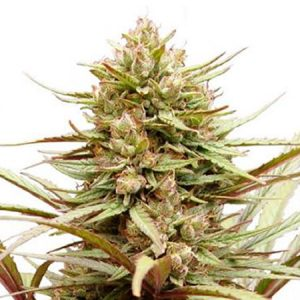 compassion-medicinal-dutch-passion-seeds-feminizada-feminized-fem-grow-shop-maipu-cerrillos-padre-hurtado-pudahuel-quinta-normal