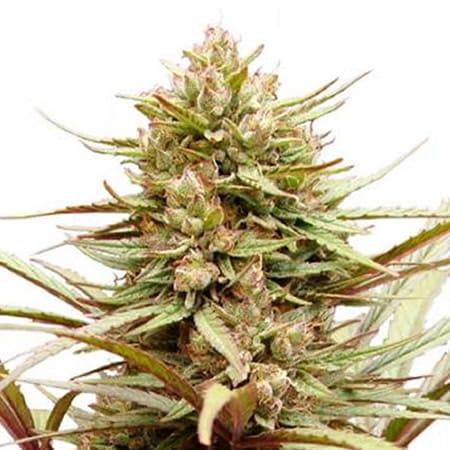 compassion-medicinal-dutch-passion-seeds-feminizada-feminized-fem-grow-shop-maipu-cerrillos-padre-hurtado-pudahuel-quinta-normal