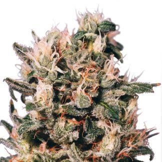 euforia-medicinal-dutch-passion-seeds-feminizada-feminized-fem-grow-shop-maipu-cerrillos-padre-hurtado-pudahuel-quinta-normal