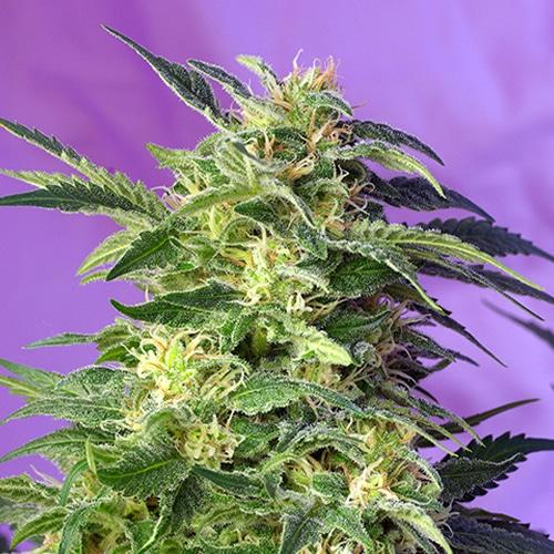 Killer Kush Auto growshop maipu chile sativa indica thc autofloreciente