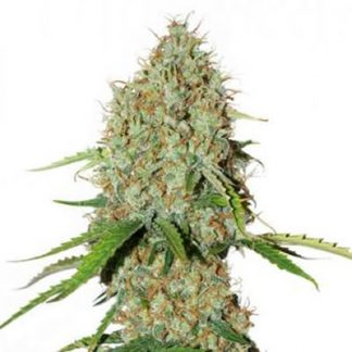auto brooklyn sunrise dutch passion seeds cannabis weed fast buds bho dab wax grow