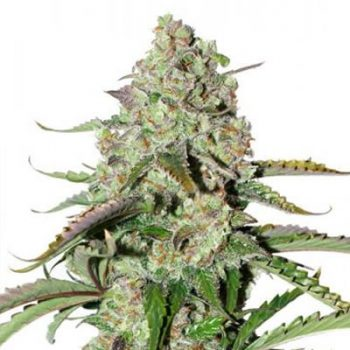 auto colorado cookies dutch passion seeds cannabis weed fast buds bho dab wax grow shop chile santiago