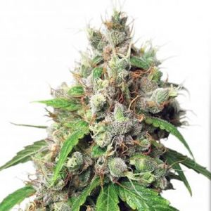 autoeuforia auto euforia euphoria dutch passion seeds cannabis weed fast buds bho dab wax grow shop chile santiago