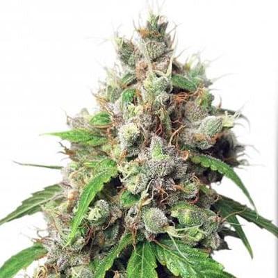 autoeuforia auto euforia euphoria dutch passion seeds cannabis weed fast buds bho dab wax grow shop chile santiago