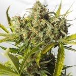blue critical auto dinafem seeds cannabis weed ganjah canamo growshop growcenter marihuana mejor expo chile argentina