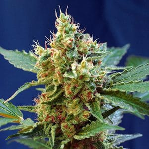 cream mandarine auto sweet seeds cannabis marihuana ganjah weed strain autoflowering hidroponic coup