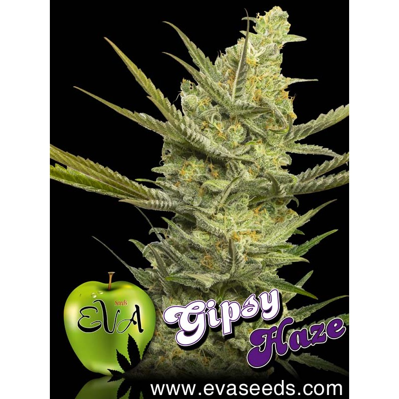 Gipsy Haze (pack 3 semillas)
