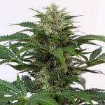 haze auto cbd dinafem seeds cannabis weed ganjah canamo growshop growcenter marihuana mejor expo toronto