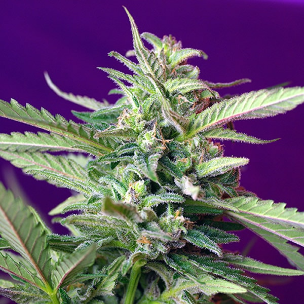 S.A.D Sweet Afgani Delicious Automatica Sweet Seed