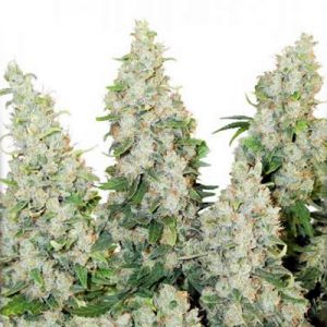think different auto dutch passion seeds cannabis weed fast buds bho dab wax grow