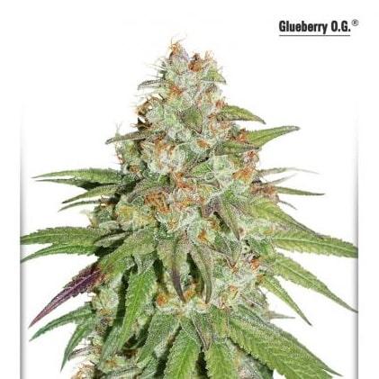 Glueberry OG Dutch Passion