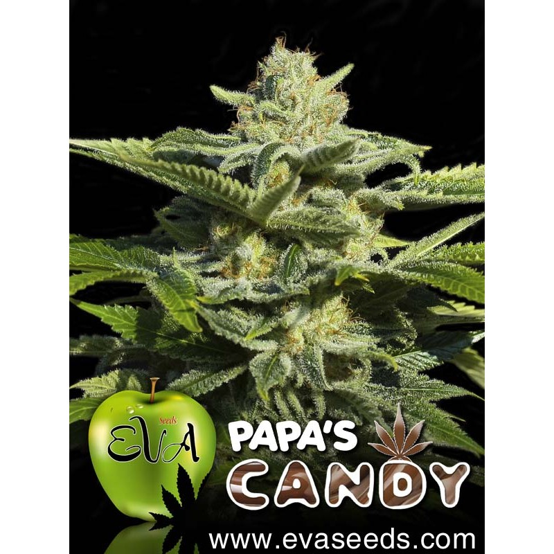 Papa's Candy (pack 3 semillas)